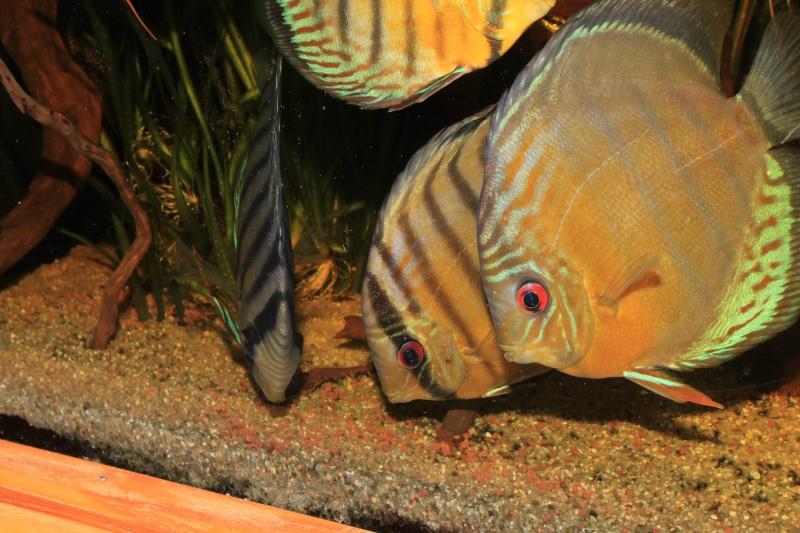 Symphysodon tarzoo rio ou lago Tefé Discus33