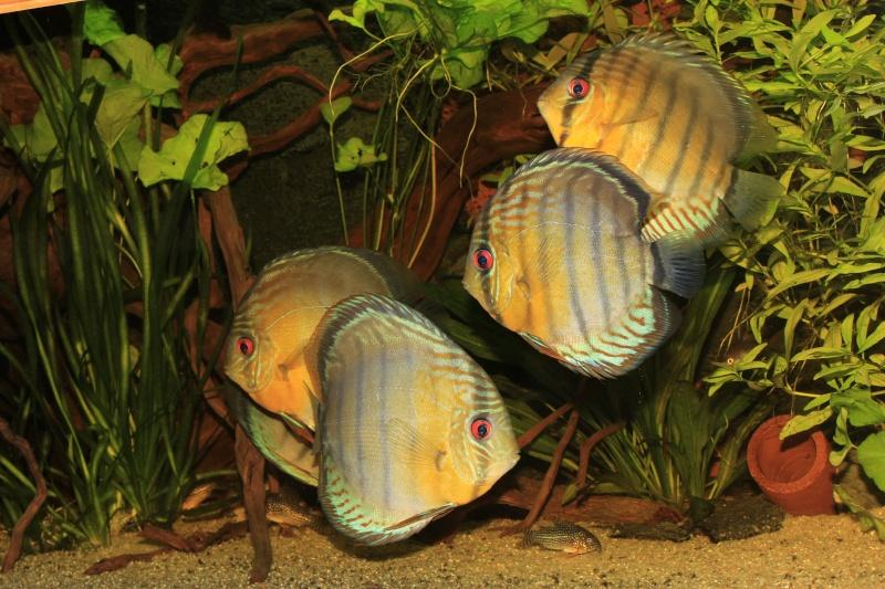 Symphysodon tarzoo rio ou lago Tefé Discus34