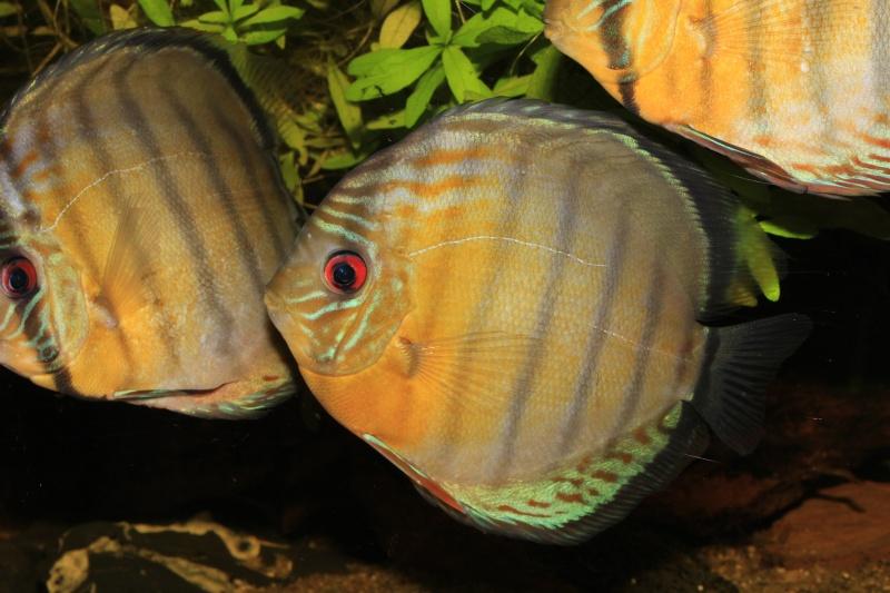 Symphysodon tarzoo rio ou lago Tefé Discus35