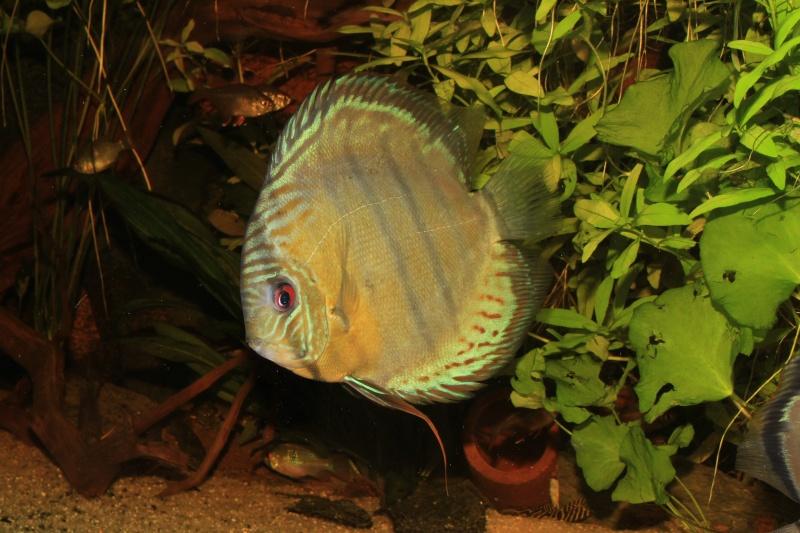 Symphysodon tarzoo rio ou lago Tefé Discus36