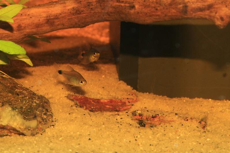 Corydoras hastatus/Hyphessobrycon elachys Hyphes11
