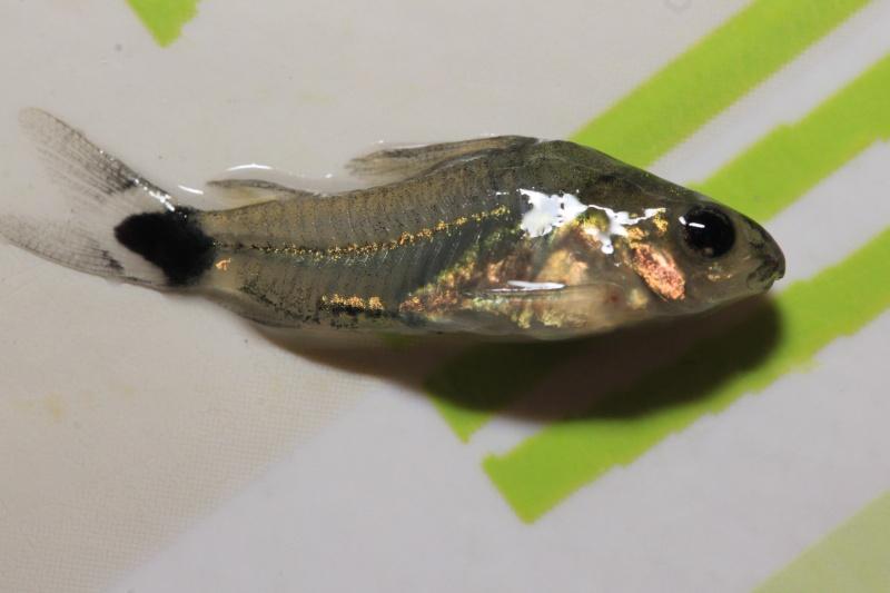 Corydoras hastatus/Hyphessobrycon elachys - Page 2 Mortal21