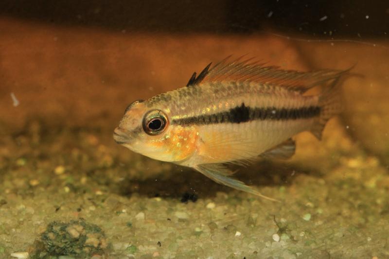 Corydoras hastatus/Hyphessobrycon elachys Myle_a10