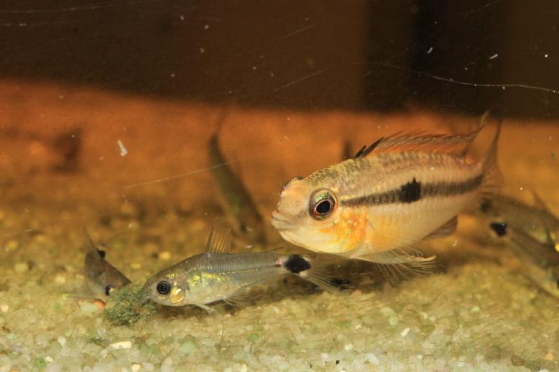 Corydoras hastatus/Hyphessobrycon elachys Myle_a12