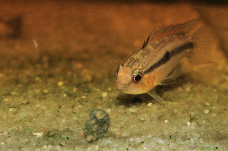 Corydoras hastatus/Hyphessobrycon elachys Myle_a14