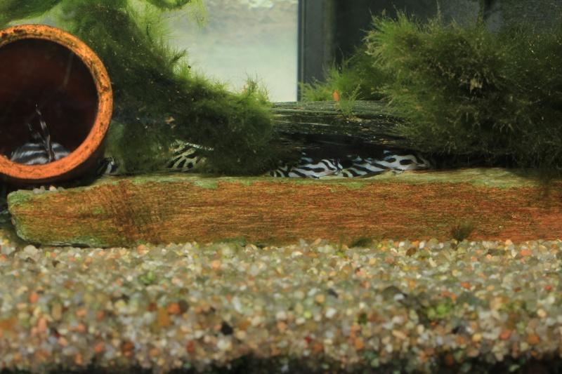 Bac spécifique pour la reproduction d'Hypancistrus zebra - Page 4 Repro_16