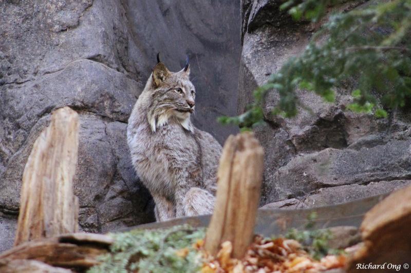 Lynx ... en captivité Img_1110