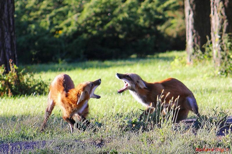 Duel de renards !!! Renard12