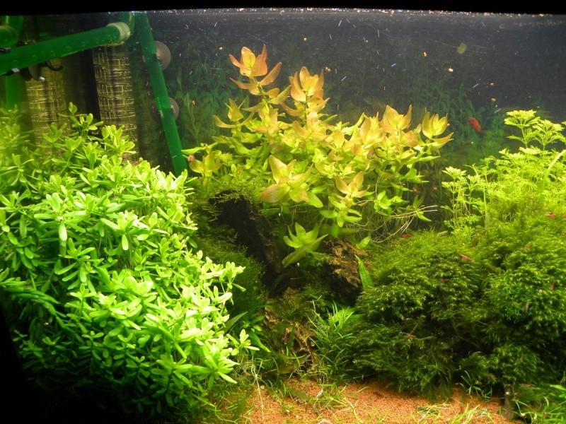 240L communautaire planté et nano 25L, 31L et 60L * 2 - Page 18 Dscn5933