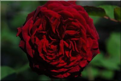 rosier empereur du Maroc 101_ds10