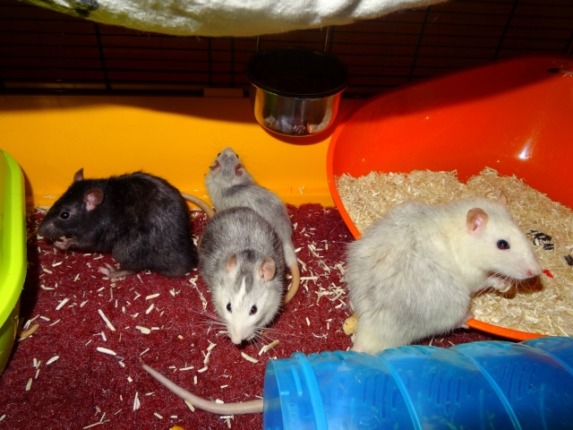 [HELP] FA / Adoptants 5 RATS MALES RENNES (35) - Page 2 Dsc08411