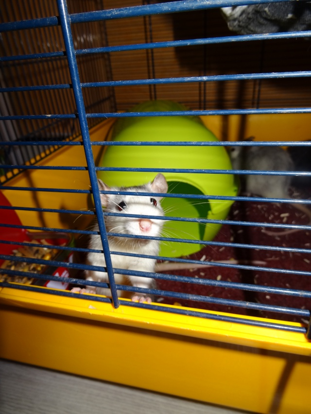 [HELP] FA / Adoptants 5 RATS MALES RENNES (35) - Page 2 Dsc08413