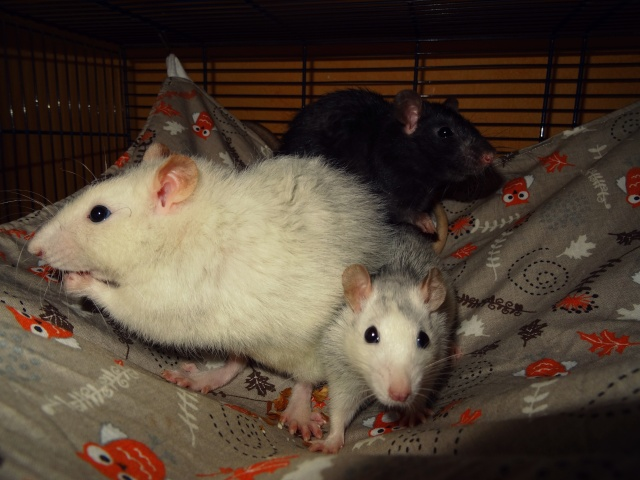 [HELP] FA / Adoptants 5 RATS MALES RENNES (35) - Page 2 Dsc08415