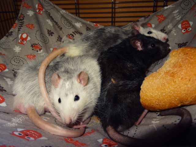 [HELP] FA / Adoptants 5 RATS MALES RENNES (35) - Page 2 Dsc08418