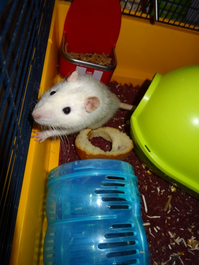 [HELP] FA / Adoptants 5 RATS MALES RENNES (35) - Page 2 Dsc08420