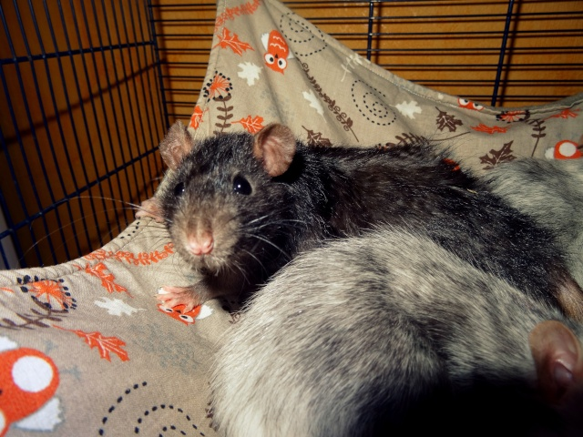[HELP] FA / Adoptants 5 RATS MALES RENNES (35) - Page 2 Dsc08421