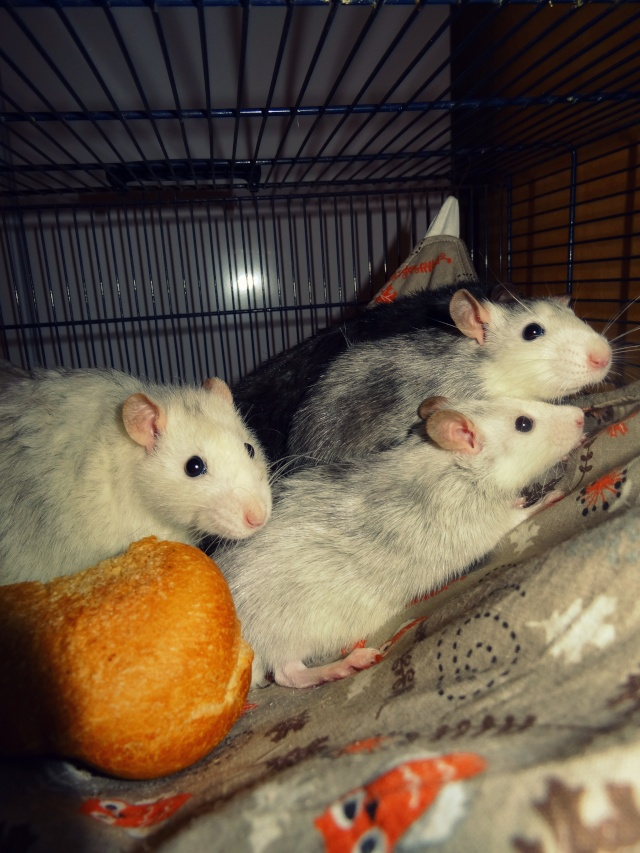 [HELP] FA / Adoptants 5 RATS MALES RENNES (35) - Page 2 Dsc08510