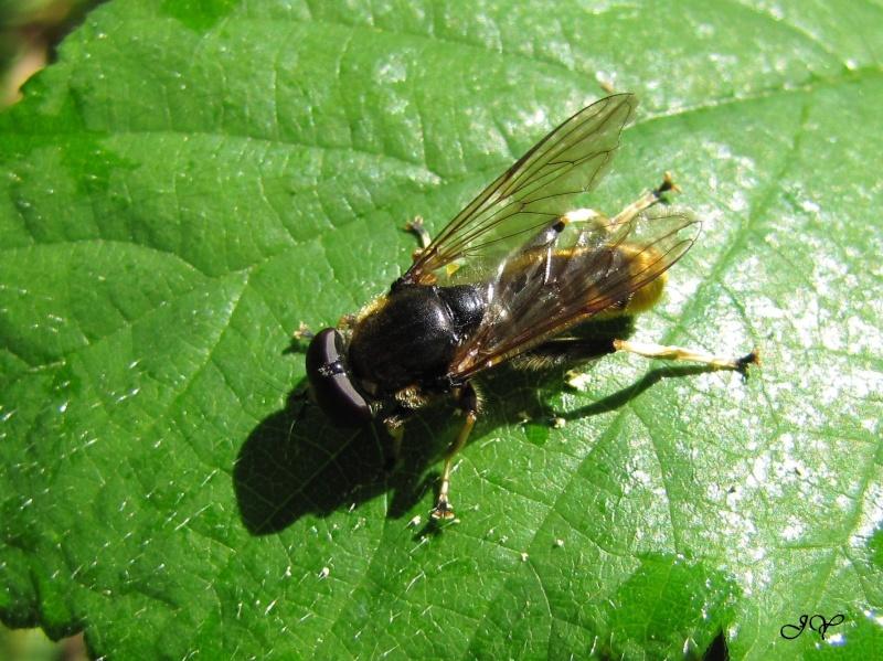 Syrphidae. Xylota. Cellel10