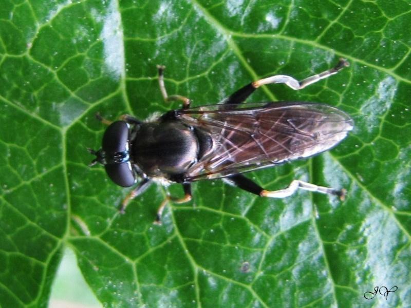Syrphidae. Xylota. Syrphe10