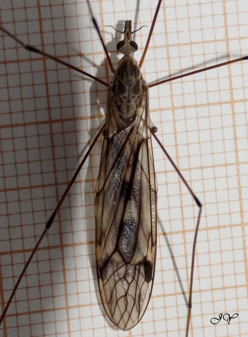 Tipule. Tipula10