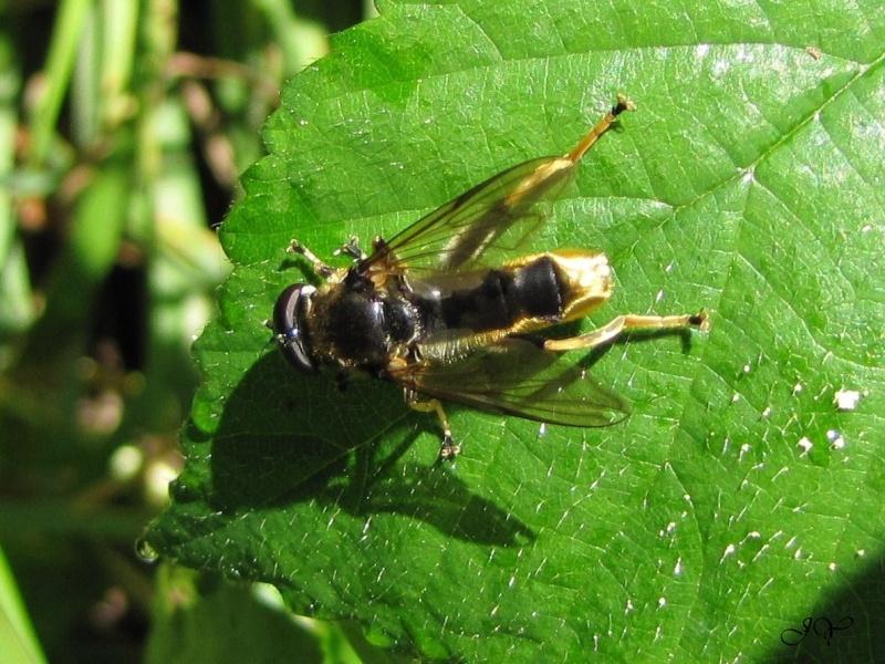 Syrphidae. Xylota. Xylota11