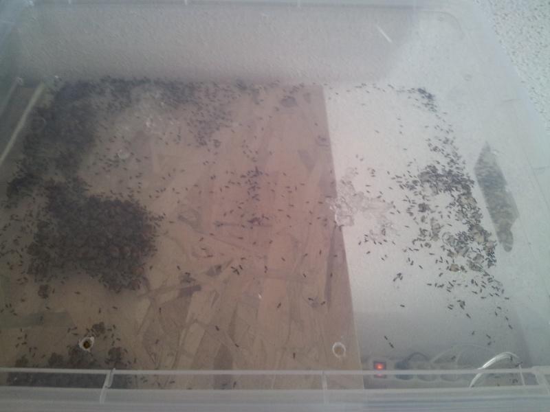 Fiche Grillons bimaculatus 20120819