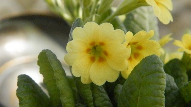 Primula..........aimez-vous les coucous ??? Vivaco10