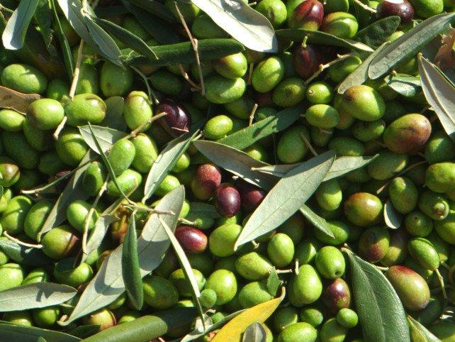 Santé : les bienfaits des feuilles d'olivier et comment en profiter Feuill10