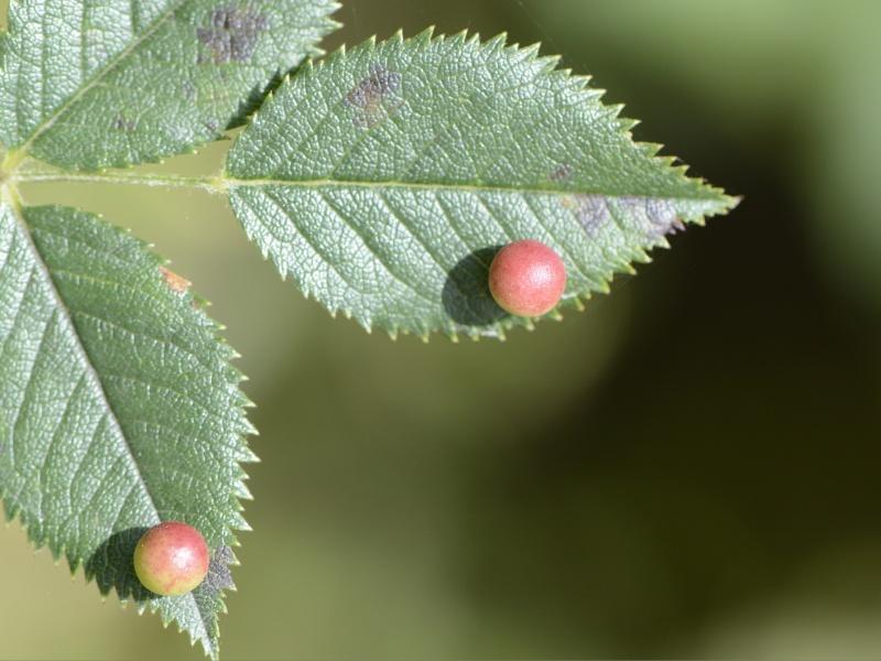 Galle de l'églantier (Diplolepis eglanteriae) _dse6110