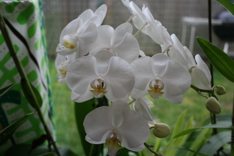 phalaenopsis blanc Img_1114