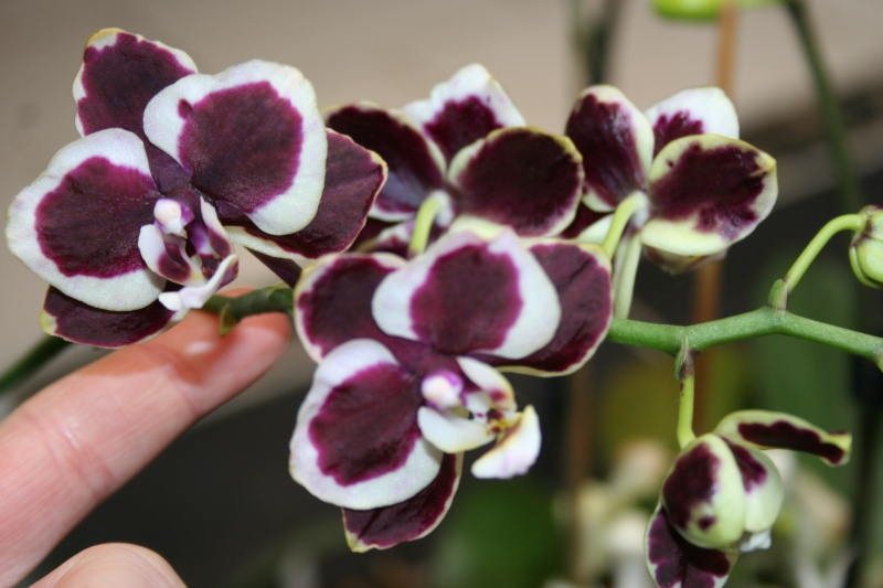 phalaenopsis costarica Img_1215