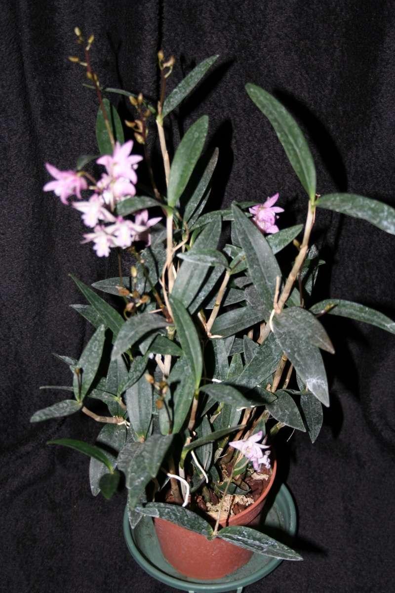 dendrobium kingianum xd. delicatum Img_1222