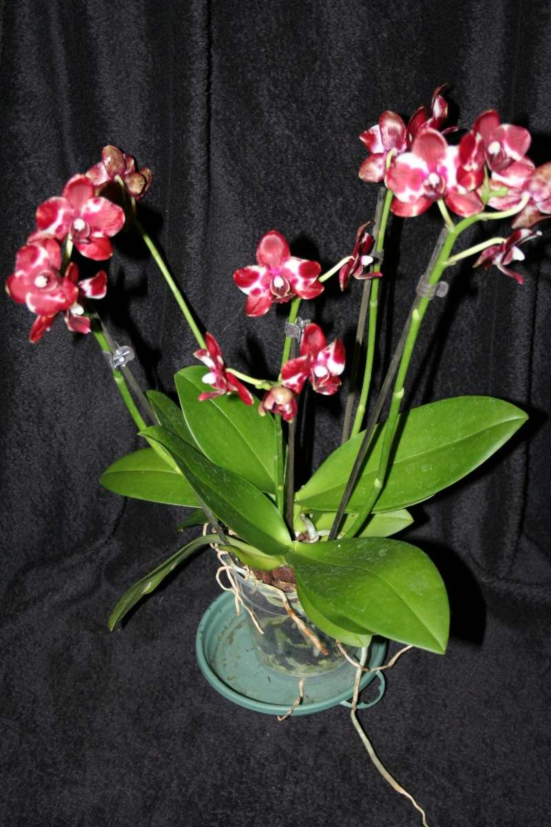 phalaenopsis rouge et blanc dalmatien Img_1227