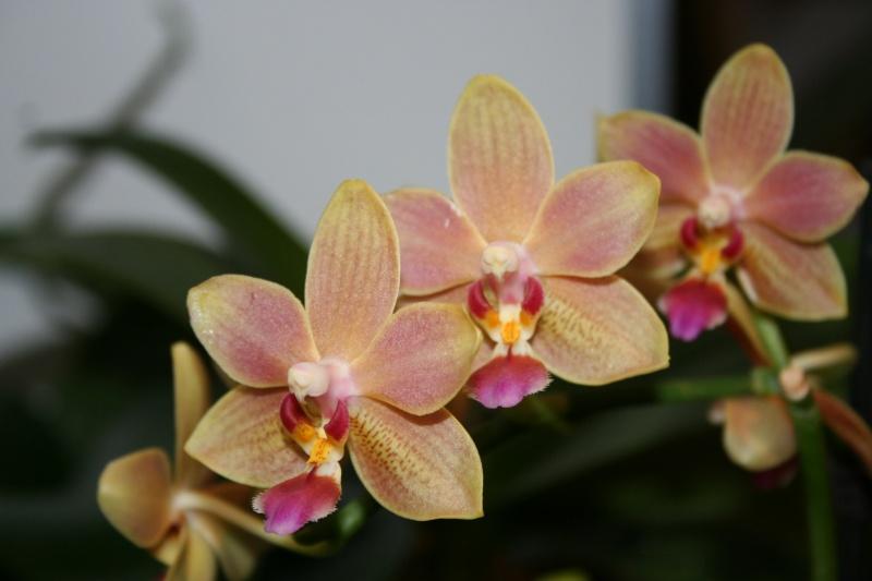 phalaenopsis orianne - Page 2 Img_1310