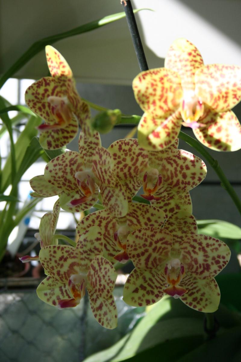 phalaenopsis calistyle - Page 2 Img_1312
