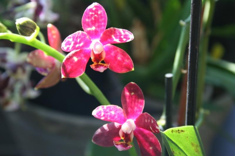 phalaenopsis hybride rouge Img_1316