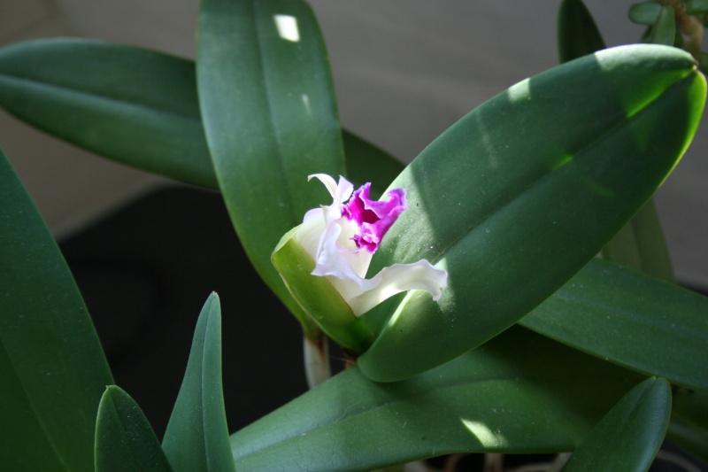 cattleya intermedia Laelia purpurata - Page 4 Img_1323