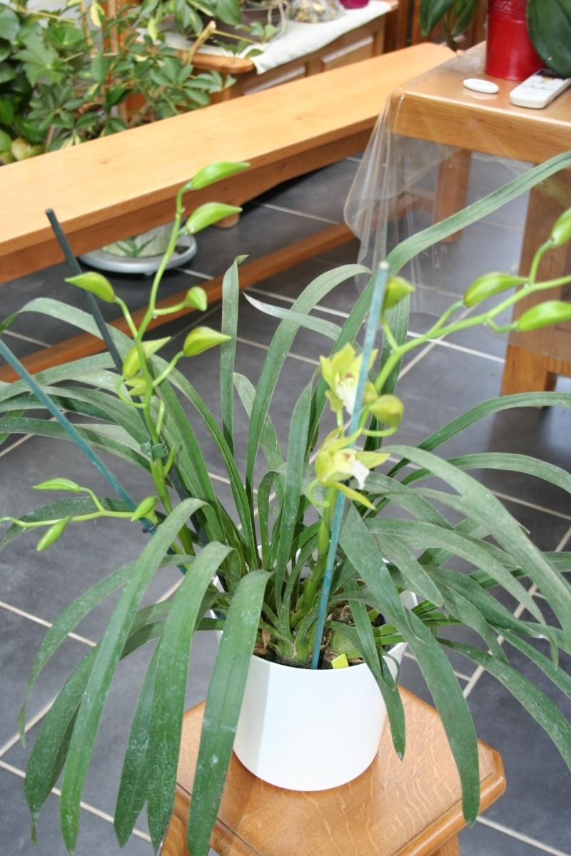 cymbidium hybride vert Img_1410