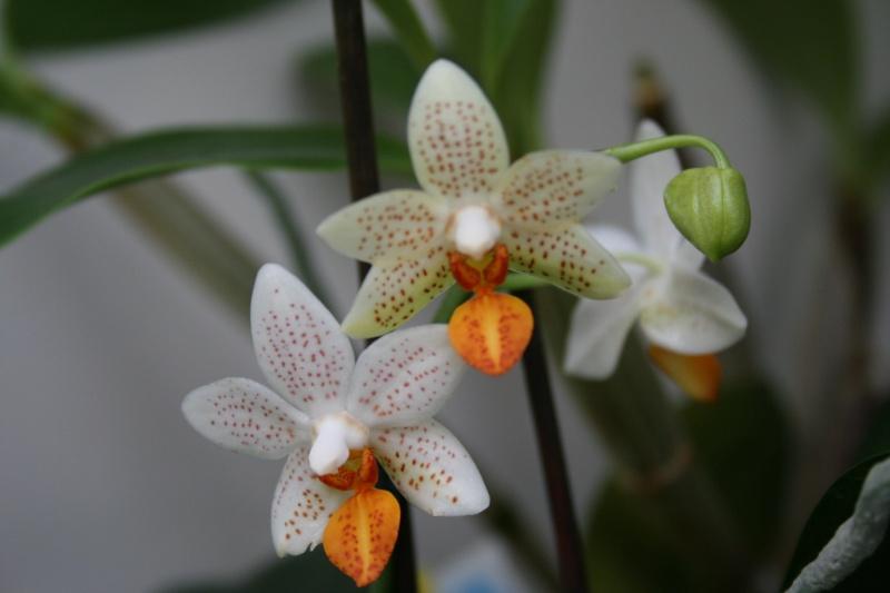 phalaenopsis mini mark  - Page 2 Img_1436
