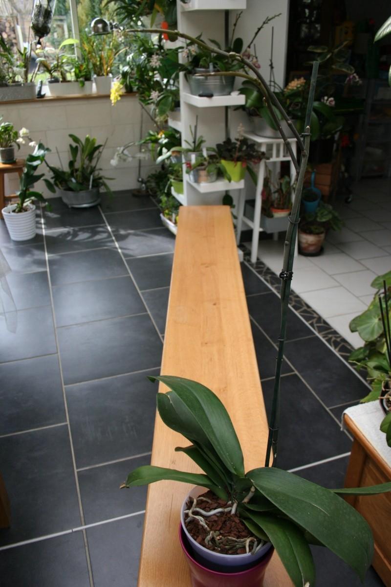 phalaenopsis blanc a fleurs enooooooooormes Img_1516