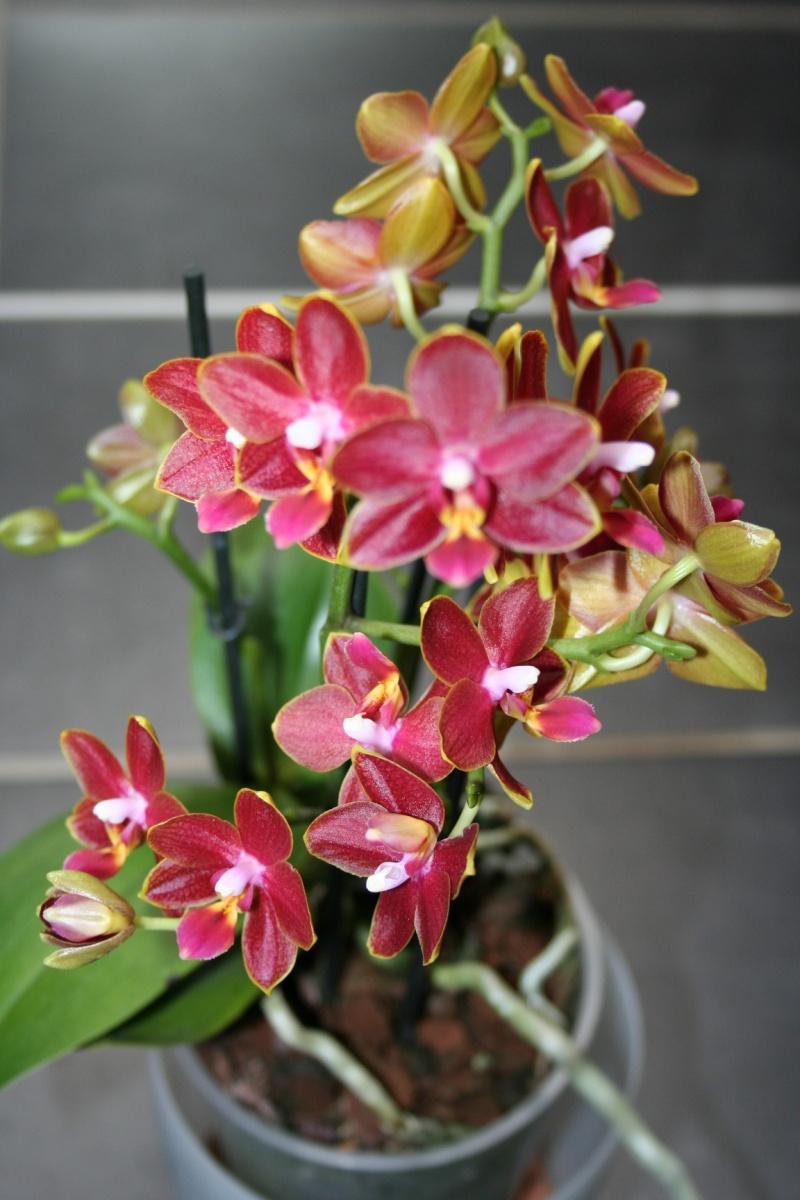 Phalaenopsis tying shin phoen Img_1527