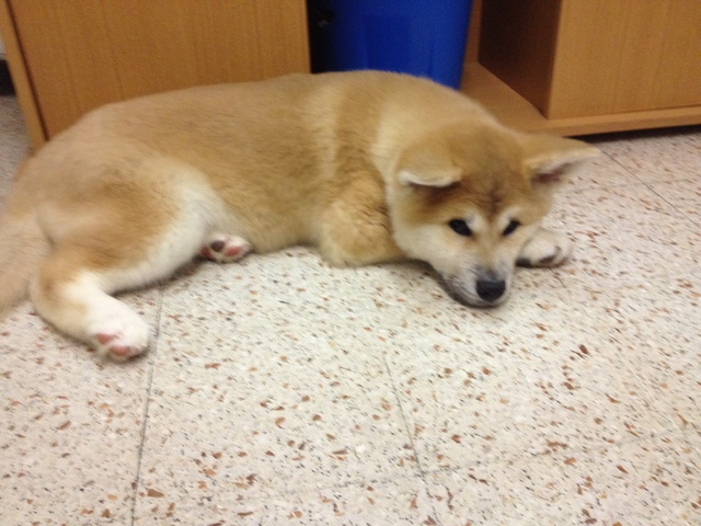 "Le chien ""Akita Inu"" Akita-11"