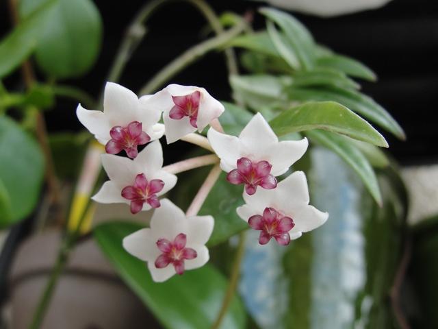 Mes floraisons de Hoya - Page 2 Dsc02510