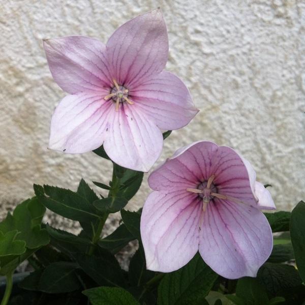 Le platycodon,  bicolor gandiflora  Img_2910