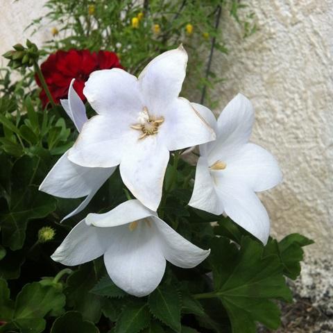 Le platycodon,  bicolor gandiflora  Img_2911