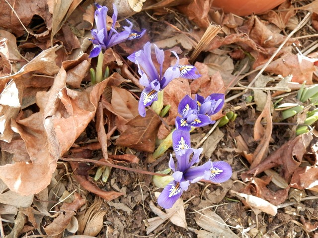 Iris reticulata - Page 5 P2130112