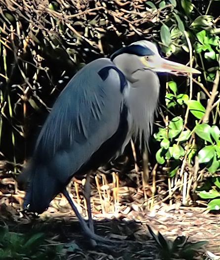 Heron ( Parc Montsouris) Heron111