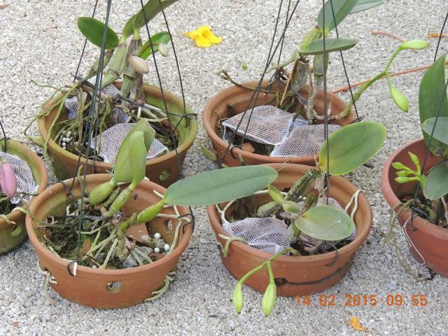 Cattleya walkeriana en culture  10991210