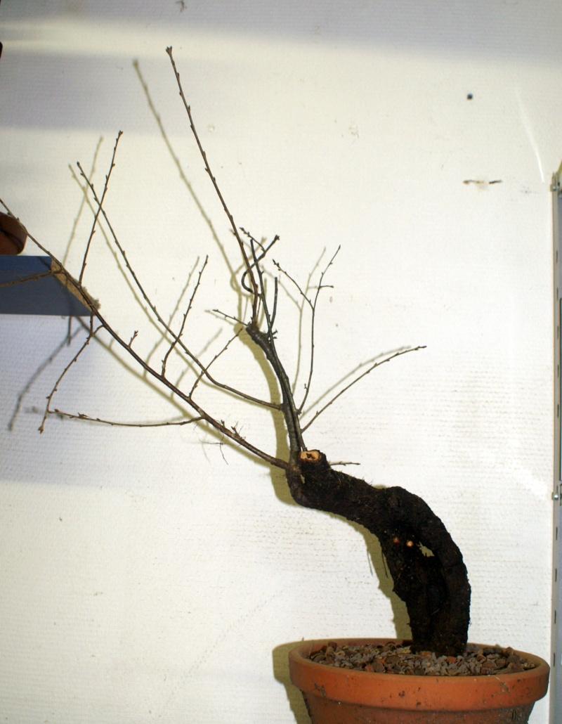Prunus Mahaleb 02 Pict0010
