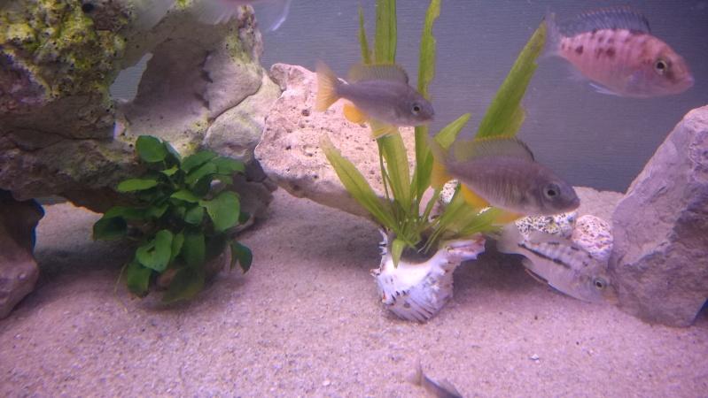 Copadichromis borleyi Kadango Wp_20113